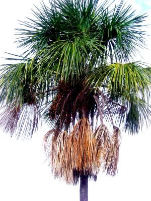 palmen arten top qualitt zum top preis palmen import. Black Bedroom Furniture Sets. Home Design Ideas